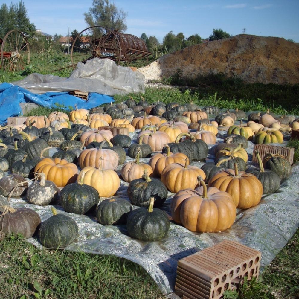 foto di zucche in campo agricolo