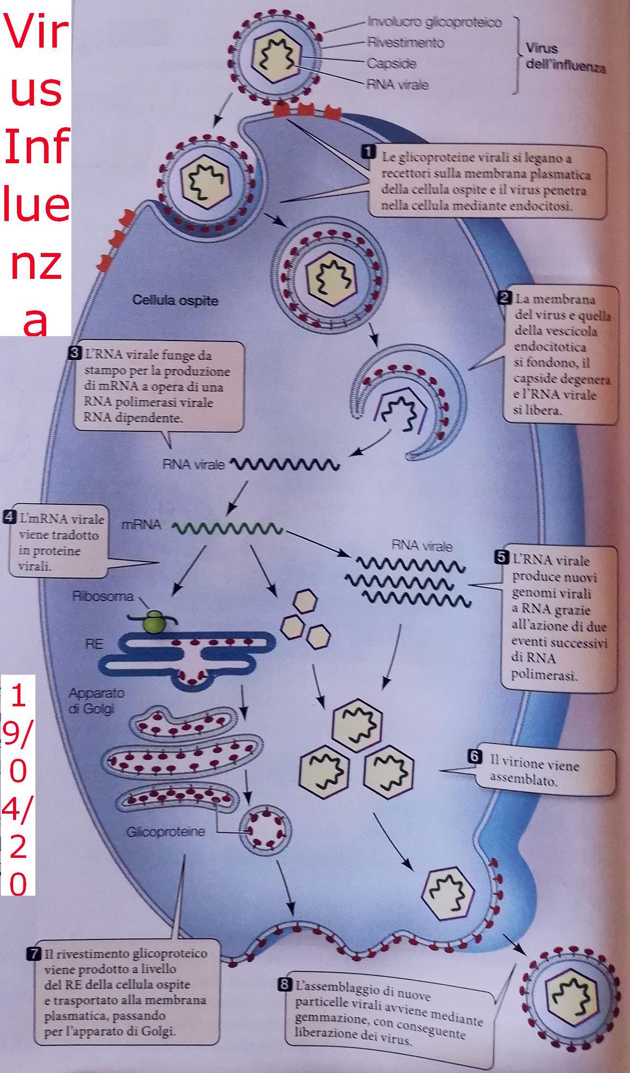 virus_influenzae